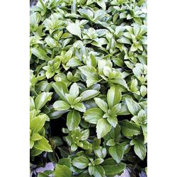 BCM Beetpflanze Bodendecker Schattengrün