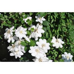 BCM Kletterpflanze Waldrebe 'Apollonia' Spar-Set, Lieferhöhe: ca. 60 cm, 2 Pflanzen