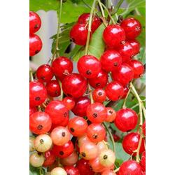 BCM Obstpflanze Johannisbeere Stanza, Höhe: 30-40 cm, 1 Pflanze
