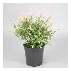 BCM Gehölze Zierweiden Stämmchen Hakuro-Nishiki, Höhe: 40 cm, 1 Pflanze