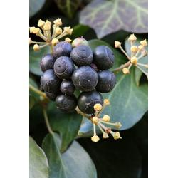 BCM Kletterpflanze Efeu helix Spar-Set, Lieferhöhe ca. 60 cm, 3 Pflanzen