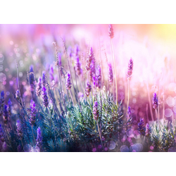Papermoon Fototapete Lavender Field, glatt 4 m x 2,6 m