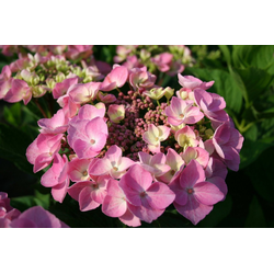 BCM Gehölze Hortensie Messalina, Höhe: 30-40 cm, 2 Pflanze