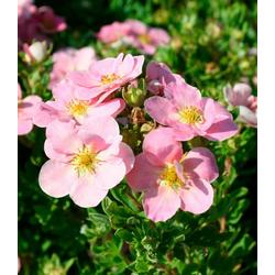 BCM Staude Fingerstrauch Lovely Pink, 3 Pflanzen