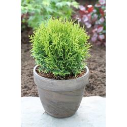 BCM Hecken Lebensbaum Tiny Tim, Höhe: 15-20 cm, 6 Pflanzen