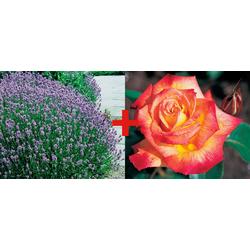 BCM Beetpflanze Rose Rumba & Lavendel Set
