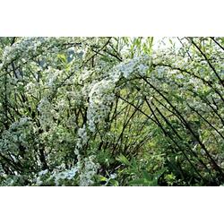 BCM Gehölze Prachtspiere, 2 Pflanzen