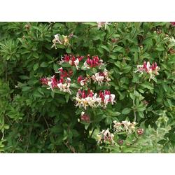 BCM Kletterpflanze Geisblatt heckrottii Spar-Set, Lieferhöhe ca. 100 cm, 3 Pflanzen
