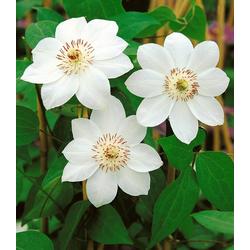 BCM Beetpflanze Clematis Miss Bateman, 2 Pflanzen
