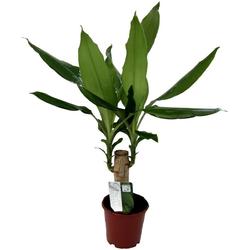 Dominik Zimmerpflanze Drazena, Höhe: 30 cm, 1 Pflanze