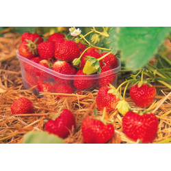 BCM Obstpflanze Erdbeere Senga Sengana