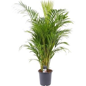Dypsis lutescens | Areca Palme | Goldfruchtpalme | Höhe 50-60 cm | Topf-Ø 17 cm