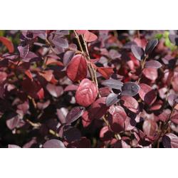 BCM Kletterpflanze Riemenblüte 'Ever Red' ® Spar-Set, Lieferhöhe ca. 80 cm, 3 Pflanzen