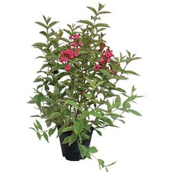 BCM Gehölze Weigela 'Brigela' ® Spar-Set, Lieferhöhe: ca. 40 cm, 2 Pflanzen