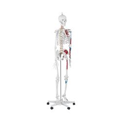 physa Skelett Modell PHY-SK-2 - lebensgroß