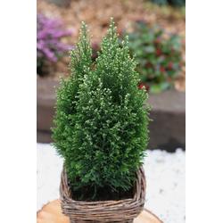 BCM Hecken Scheinzypresse Snow White, Höhe: 40-50 cm, 1 Pflanze