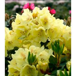 BCM Gehölze Rhododendron Goldbukett®, Höhe: 30 cm, 1 Pflanze