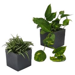 Dominik Zimmerpflanze Grünpflanzen-Set, Höhe: 15 cm, 2 Pflanzen in Dekotöpfen grün