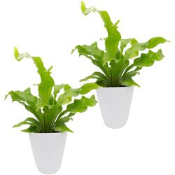 Dominik Zimmerpflanze Farnpflanzen, Höhe: 15 cm, 2 Pflanzen in Dekotöpfen grün