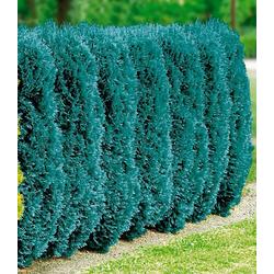 BCM Hecken Blaue Scheinzypresse, 4 Pflanzen