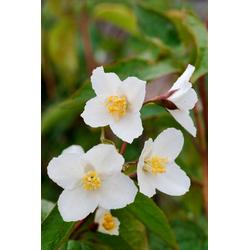 BCM Hecken Duft Jasmin Starbright, Höhe: 30-40 cm, 3 Pflanzen