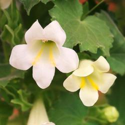 Volmary Beetpflanze Trompetenwinde, weiß, Höhe: 70 cm