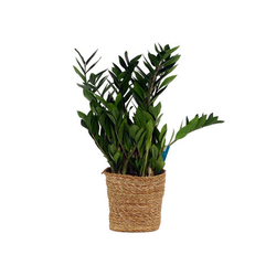 Schinner-Zimmerpflanze Zamioculcas »Glücksfeder« im 17-cm-Topf