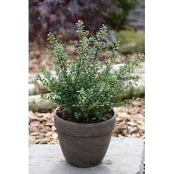 BCM Hecken Stechpalme Glory Gem, Höhe: 20-25 cm, 5 Pflanzen
