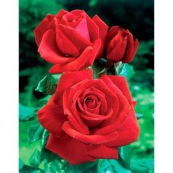 BCM Beetpflanze Rose Dame de Coeur, Höhe 30 cm, 3 Pflanzen