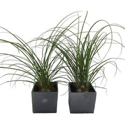 Dominik Zimmerpflanze Elefantenfuß, Höhe: 30 cm, 2 Pflanzen in Dekotöpfen