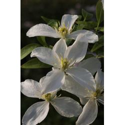 BCM Kletterpflanze Waldrebe montana 'Grandiflora' Spar-Set, Lieferhöhe: ca. 60 cm, 3 Pflanzen
