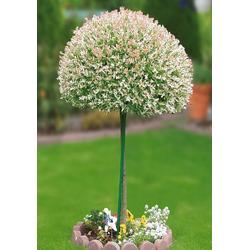 BCM Gehölze Zierweiden Stämmchen Hakuro-Nishiki, Höhe: 60 cm, 1 Pflanze
