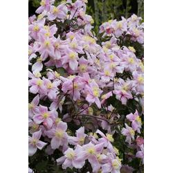 BCM Kletterpflanze Waldrebe rosa Spar-Set, Lieferhöhe: ca. 80 cm, 2 Pflanzen