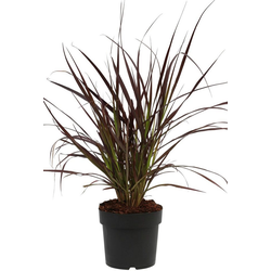 BCM Gräser Lampenputzergras x advena 'Rubrum', Lieferhöhe ca. 40 cm, 1 Pflanze