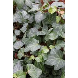 BCM Kletterpflanze Efeu helix 'Plattensee' Spar-Set, Lieferhöhe ca. 60 cm, 2 Pflanzen