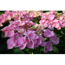 BCM Gehölze Hortensie Messalina, Höhe: 30-40 cm, 1 Pflanze
