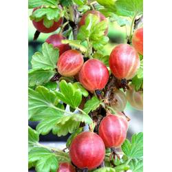 BCM Obstpflanze Stachelbeere Relina, Höhe: 30-40 cm, 2 Pflanzen