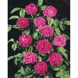 BCM Beetpflanze Rose de Rescht rot Beetpflanzen Pflanzen Garten Balkon