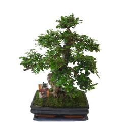 BCM Zimmerpflanze Bonsai