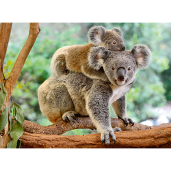 Koalafamilie. Puzzle 200 Teile XXL