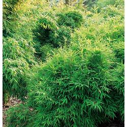 BCM Hecken Bibo Bambus grün Heckenpflanzen Pflanzen Garten Balkon