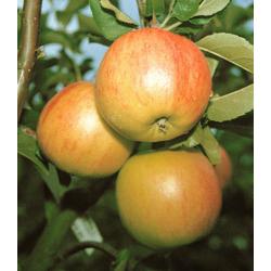 BCM Obstpflanze Säulenobst Apfel Bolero weiß Obst Pflanzen Garten Balkon