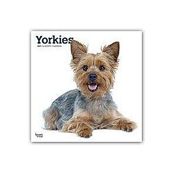 Yorkshire Terriers International - Yorkshire Terrier 2021 - 16-Monatskalender mit freier DogDays-App