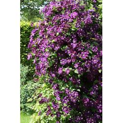 BCM Kletterpflanze Waldrebe viticella 'Etoile Violette' Spar-Set, Lieferhöhe ca. 60 cm, 3 Pflanzen