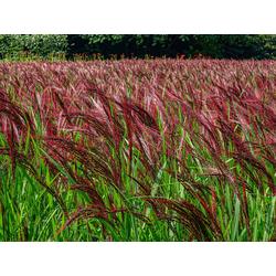 BCM Gräser Chinaschilf sinensis 'China' Spar-Set, Lieferhöhe ca. 60 cm, 3 Pflanzen