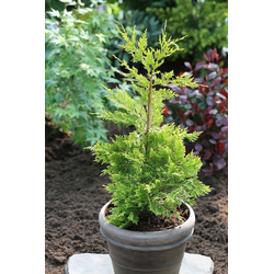 BCM Hecken Zypresse Gold Rider, Höhe: 30-40 cm, 10 Pflanzen