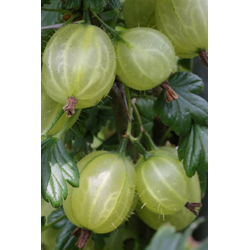 BCM Obstpflanze Stachelbeere Tatjana, Höhe: 30-40 cm, 1 Pflanze