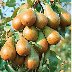BCM Obstbaum Birne