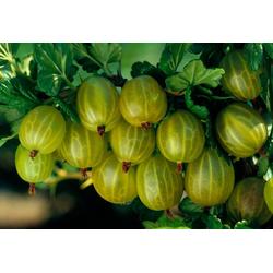 BCM Obstpflanze Stachelbeere, grün