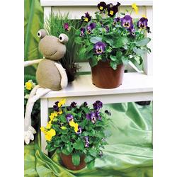 BCM Beetpflanze Hornveilchen